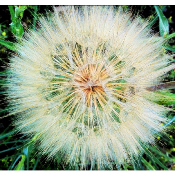 In my backyard!  Never thought dandelions could be pretty!