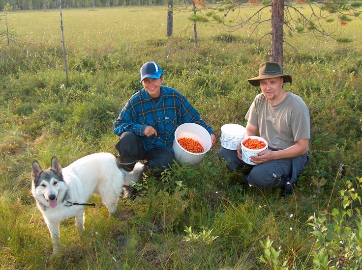 Cloudberry collecting in the swamps, Taivalkoski, Lapland, Finnland