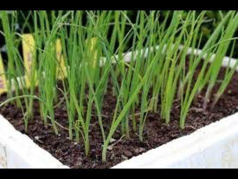 Tout savoir sur le semis du poireau !     #permaculture
