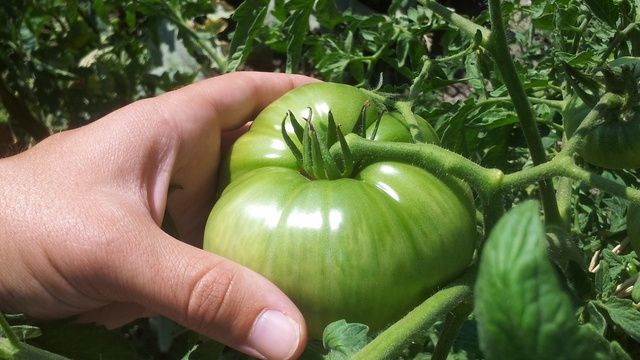 What is The Vegetable Garden of the Forgotten Varieties? The Vegetable Garden of the Forgotten Varieties is the result of many hours thinking about the way we consume, the way we cultivate the land, our future and the planet's. The ...