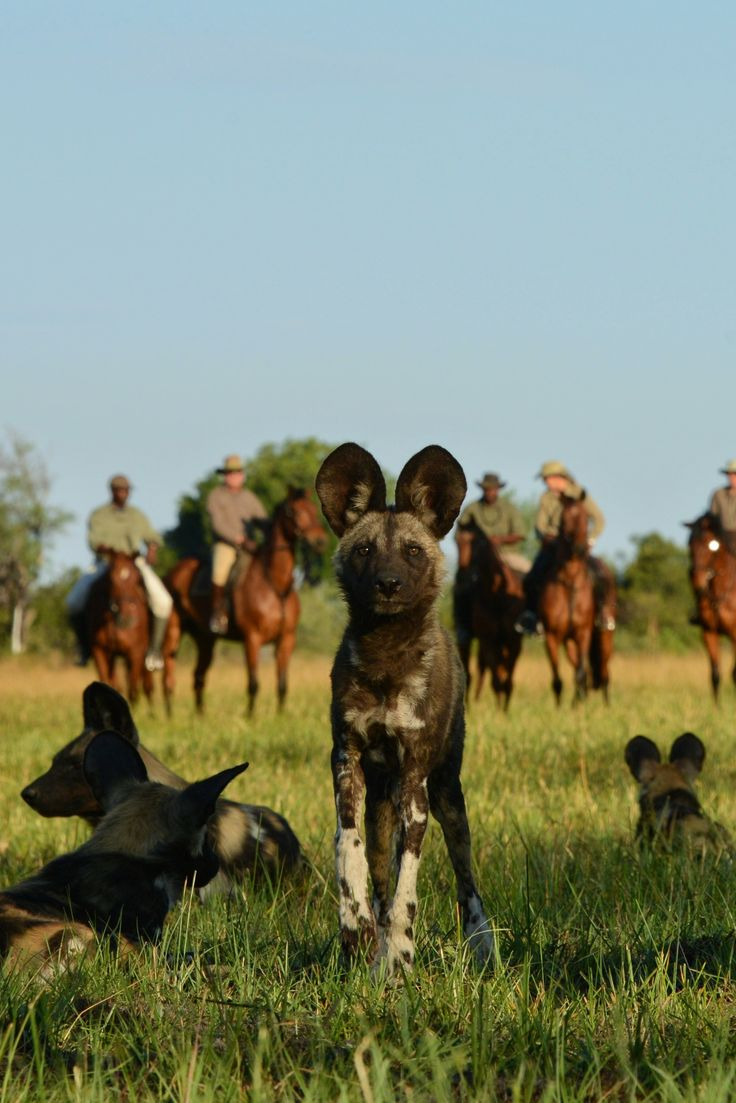 See rare African wild dogs from horseback on a in Image by African Horseback  Safaris. 53 best Riding Safaris   Horseback Adventures images on Pinterest