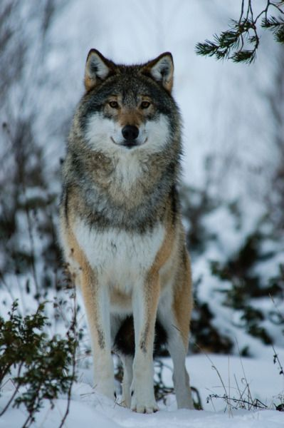 Eurasian wolf(Canis lupus lupus) in Norway.The Eurasian wolf, also known as the common wolf or Middle Russian forest wolf, is a subspecies of gray wolf native to Europe and the forest and steppe zones of the former Soviet Union.