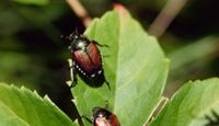 Home Remedy for How to Kill Japanese Beetles
