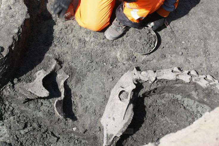 Schelet de camila din secolul XVI, descoperit in Piata Unirii