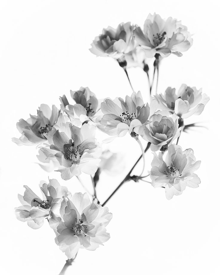 Cherry Blossom Black And White White Flower Tattoos Xray Flower Black And White Flower Tattoo