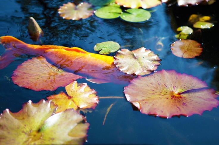 "#Capturethecolourcontest  RACHEL SERRUYA  ""Koi pond"""