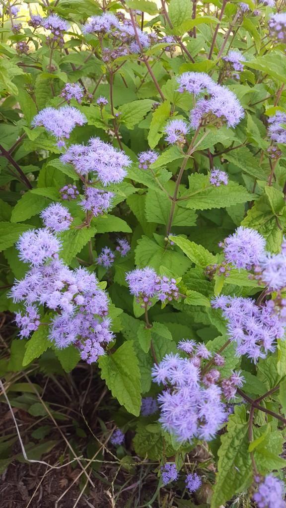 A Blue Mist Flower In 2020 Woodland Plants Wildflower Garden Planting Flowers