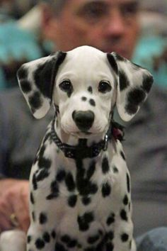 Dalmation puppy - Tap the pin for the most adorable pawtastic fur baby apparel! You'll love the dog clothes and cat clothes! <3