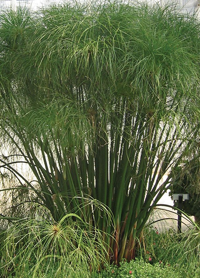 Graceful grasses king tut egyptian papyrus cyperus for Annual decorative grasses