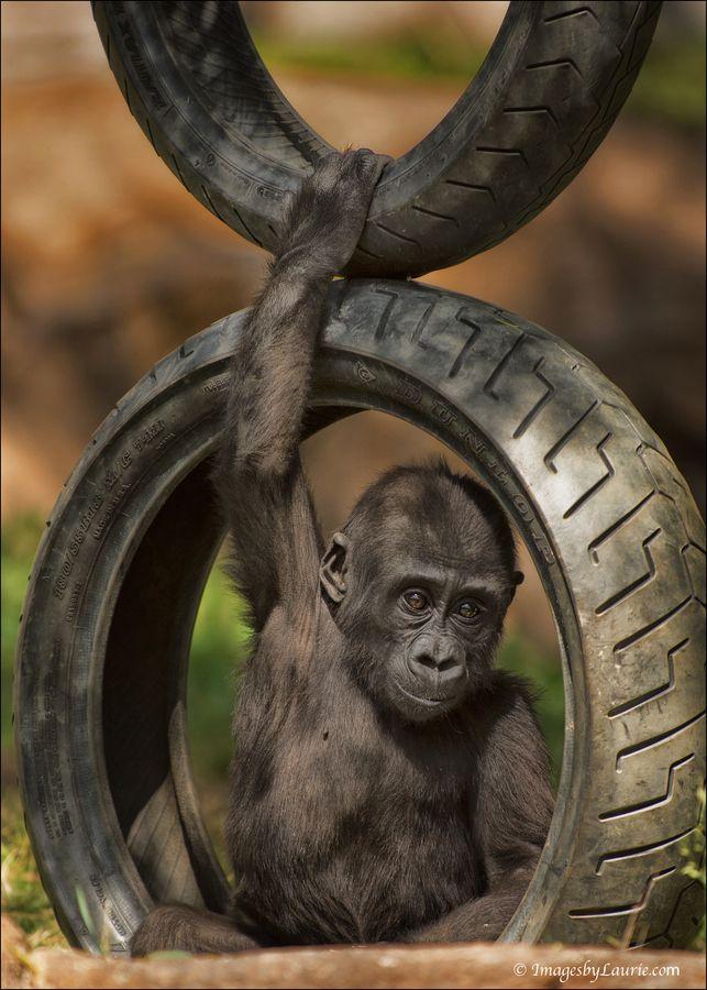 Baby Gorilla Swing Set By Laurie Rubin Gorilla My