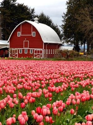 Barns by roxie, Love barns and flowers!