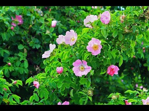 wild roses - wild roses tender roses - wild roses song