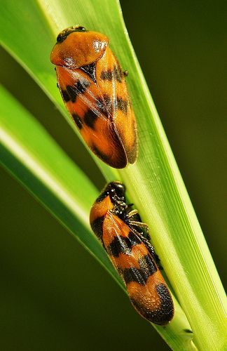 Froghoppers (Cosmoscarta sp., Cercopidae)