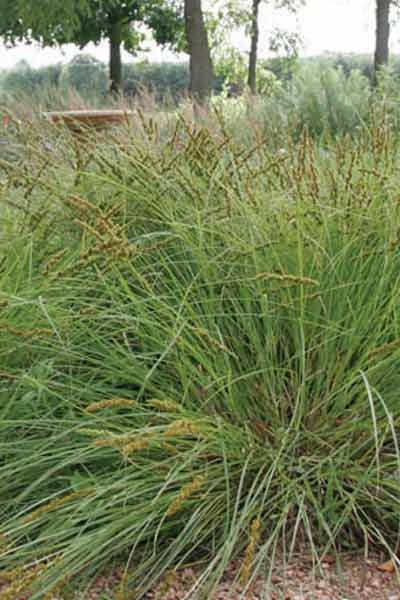 153 best Carex images on Pinterest Ornamental grasses, Evergreen - carex bronze reflection