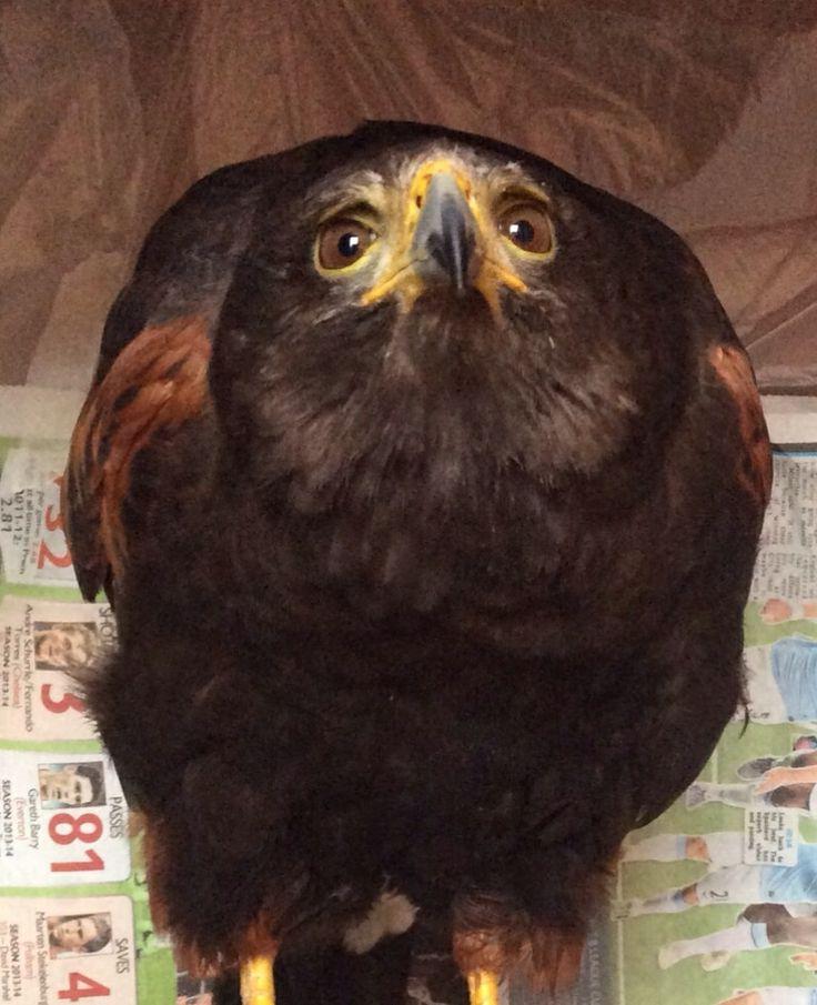 Tex our Harris Hawk