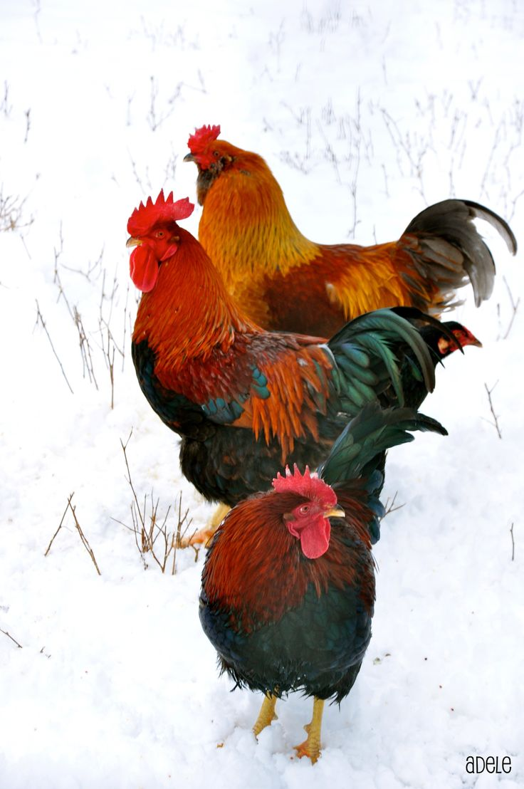 chickens in the snow ~ photo by Adele Willman, January 2011