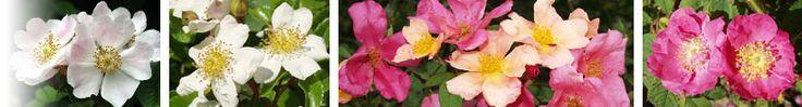 Société Française des Roses - A l'origine de tous les rosiers cultivés, il y a le rosier sauvage ou églantier