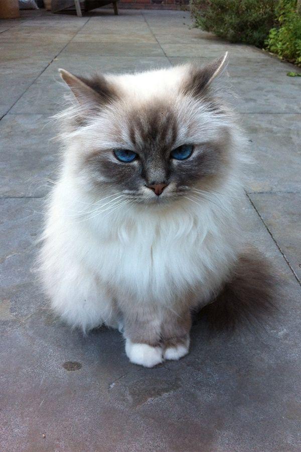 Birman Cat Breeds Cute Animals Pretty Cats Cute Cats