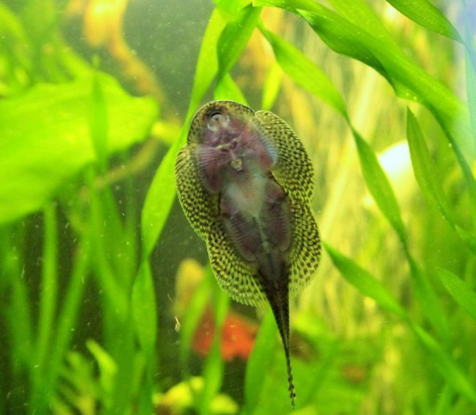 29 best images about my aquarium on pinterest scarlet for Loach fish types