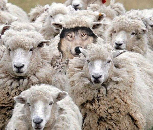 A Wolf In Sheep S Clothing Saul