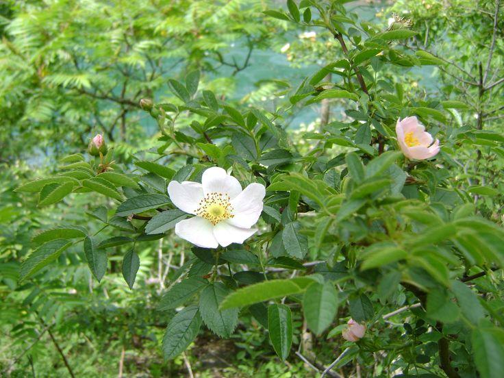 wild rose bush - Google Search