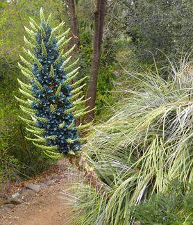 """Puya berteroniana """"Blue Puya"""""""