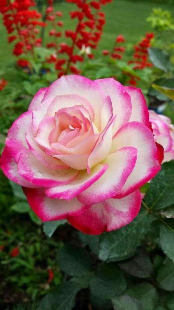 THE BEAUTY OF ROSES - Topluluk - Google