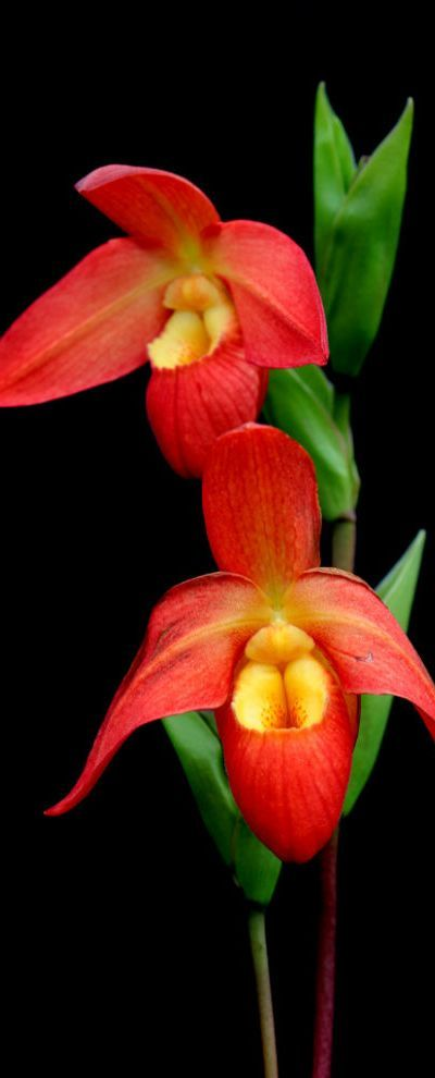 Phragmipedium besseae hybrid Tropical New World slipper orchids thrive in bright interior conditions with consistent moisture and humidity. Occasional 1/4-dose fertilizing with Maxsea from spring to fall will promote vigorous growth.