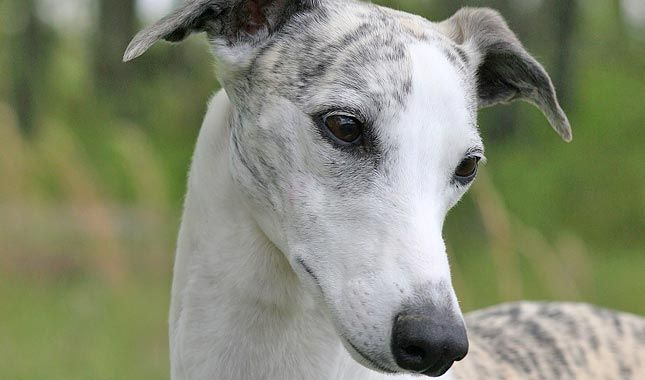 The Whippet is a sleek, beautifully statuesque, and athletic breed and also very easy to groom. Learn all about Whippet breeders, adoption health, grooming, training, and more.