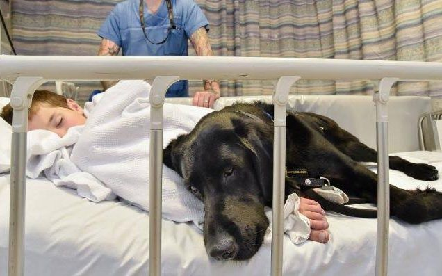 HOW CAN ANYONE ABUSE - EAT THESE WONDERFUL ANIMALS  Loyal dog refuses to leave autistic boy's side in hospital
