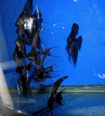 399 best images about Aquariums: Angelfish! on Pinterest ...