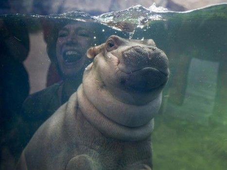 Première sortie: le bébé hippopotame Fiona au «Cincinnati Zoo and Botanical Garden».