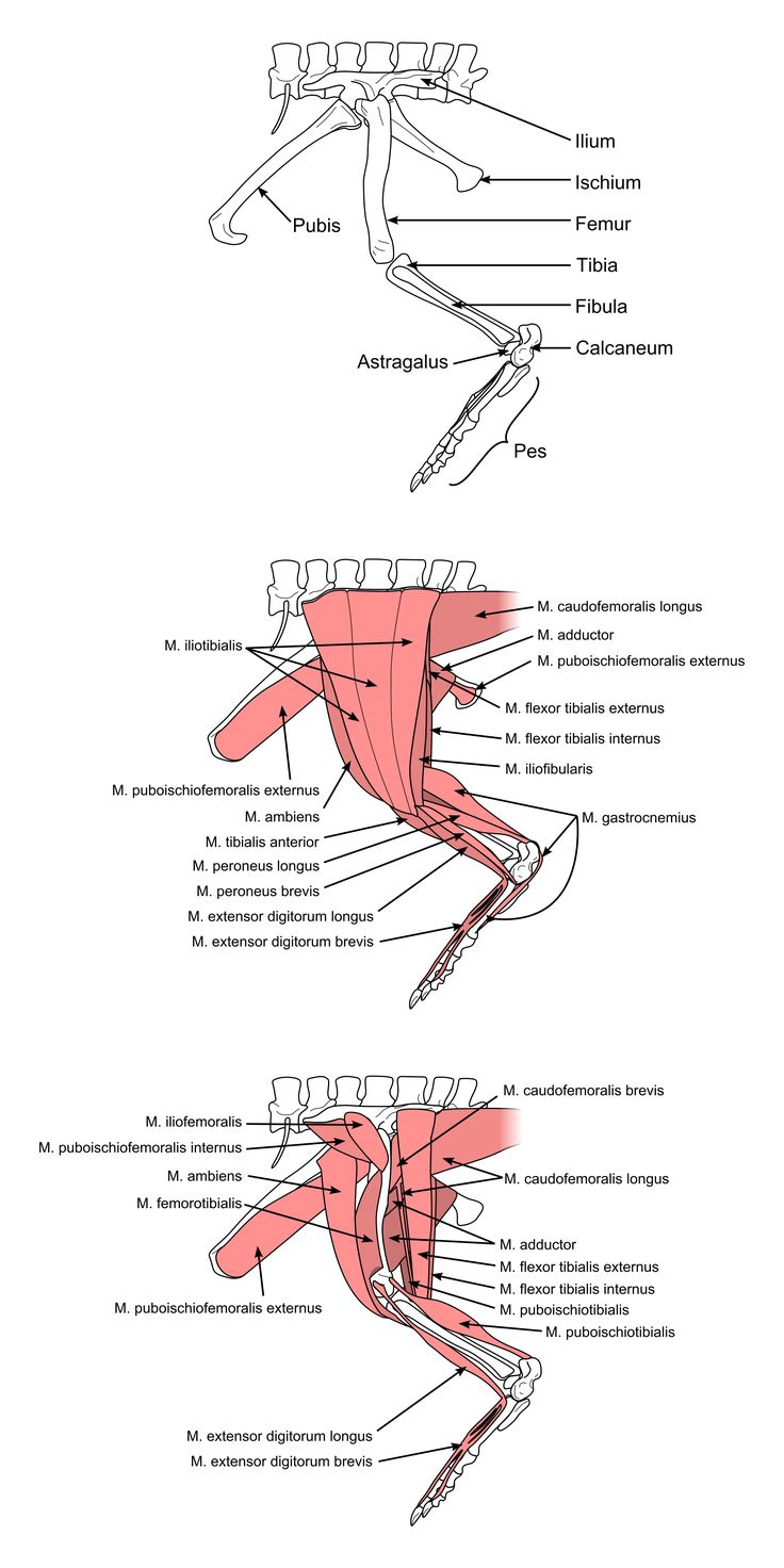 Exelent Chicken Leg Anatomy Ensign - Human Anatomy Images ...