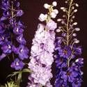 Delphiniums: How to Plant, Grow, and Care for Delphinium Flowers, hardy zone 5, come in pink, purple, blue, white