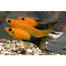 Golden Panda Lyretail Mollies-  These are the kind of fish I have and I love them more than anything. They are my babies :)