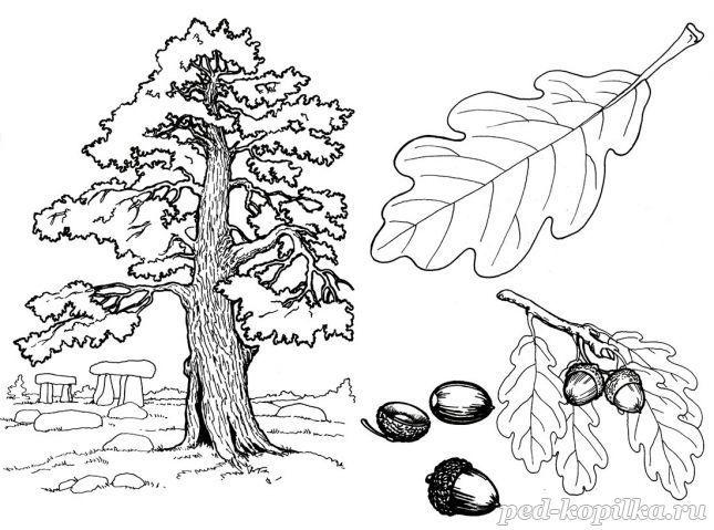 раскраска дуб малышу дерево раскраски и сосна