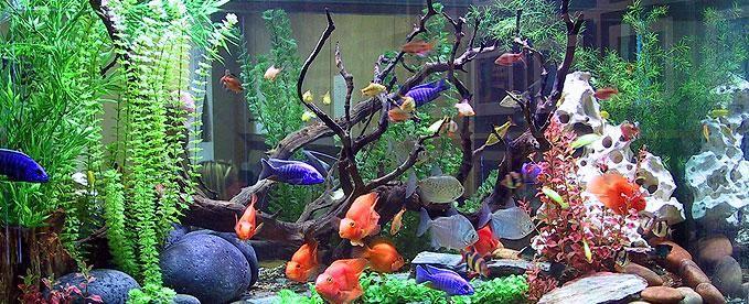 ... Cichlids, Fab Cichlid Tank Jpg 679, Freshwater Fish Tanks, African