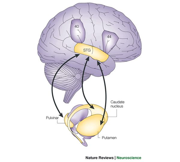 The cortico–subcortical network that underlies neglect. The putamen, caudate nucleus & pulvinar are the subcortical nuclei that are associated w/ neglect. known to have direct anatomical connections w/ the superior temporal cortex. superior temporal gyrus (STG) is the area that is involved in pts w/ neglect after cortical damage. Lesions confined to either the parietal or the frontal lobe (Brodmann areas 40 or 44) are rarely associated w/ spatial neglect (parietal lobe 4–5%; frontal lobe…