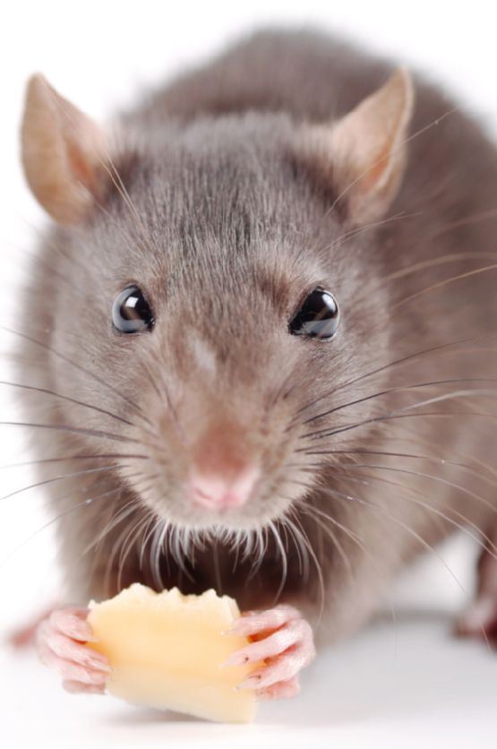 Beautiful rat portrait   whiskers   rat holding a treat
