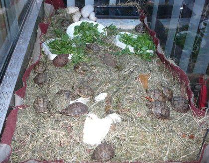 Site d'information developpement tortue terrestre Graeca, Herman,