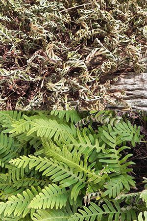 Resurrection Fern - University of Florida, Institute of Food and Agricultural Sciences