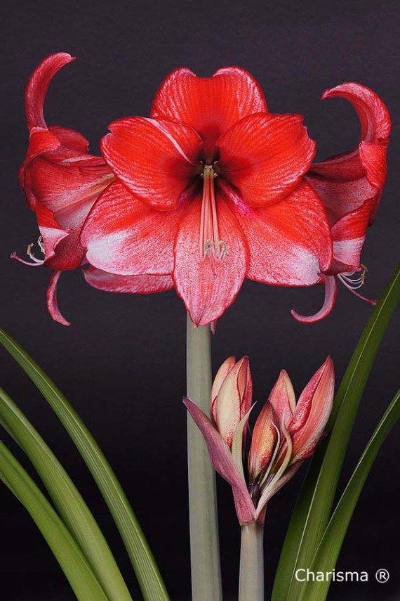 Amaryllis Charisma Amaryllis Bulbs Bulb Flowers Amaryllis Painting