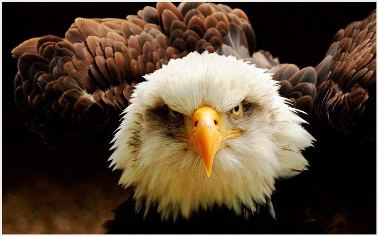 Bird Of Prey Eagle Wallpaper | bird of prey eagle wallpaper 1080p, bird of prey eagle wallpaper desktop, bird of prey eagle wallpaper hd, bird of prey eagle wallpaper iphone