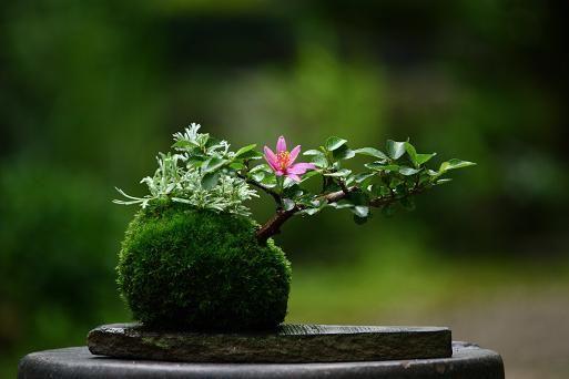 睡蓮木・食虫植物