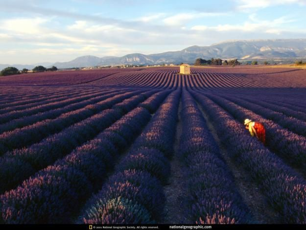 Rows of lavender bushes #Provence #France #Europe #culture #travel #lavender #flower #plant #scent: National Geographic, Travel Buckets Lists, Lavender Fields France, French Lavender, Place To Visit, Music Festivals, Photo, Portland Oregon, Provence France
