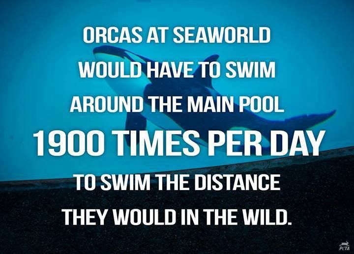 captivity of killer whales Captivity is, in essence, poor habitat for orcas, causing early death captive female orcas give birth too young and too often, leading to both high adult and high infant mortality the most common cause of death for captive orcas is infection.