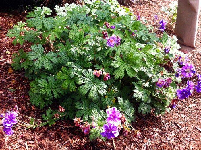 geranium himalayense plenum