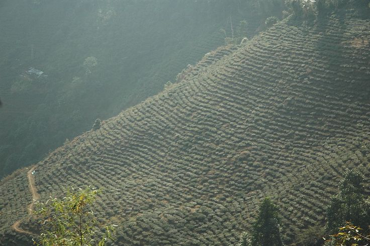 * Darjeeling Tea Plantation * # Darjeeling, Bengala Ocidental. India.