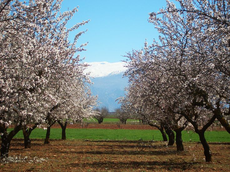 Almond orchard with Sierra Nevada mountains behind, en route from Alhama de Granada to Granada