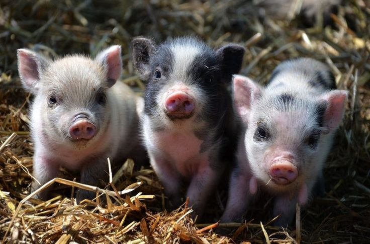 Picking your pig